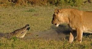 Video inayoonyesha pale ambapo Simba na Mamba wanakutana uso kwa uso